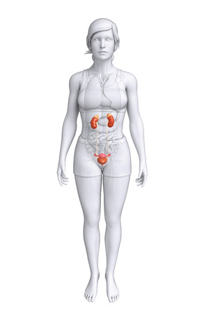 ductus deferens: Illustration of Female urinary system