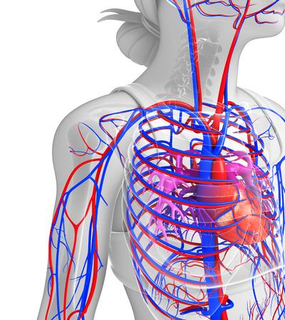 Illustration of Female heart circulatory illustration