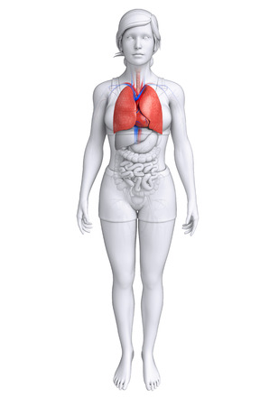 pleural fluid: Illustration of female lungs anatomy Stock Photo