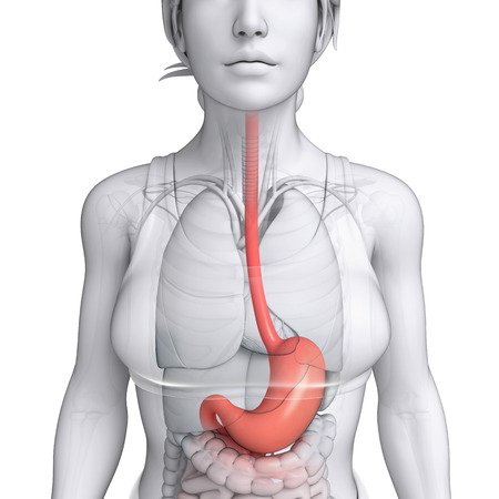 lleum: Illustration of female stomach anatomy