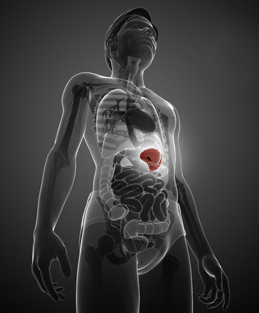 liver cells: Illustration of male spleen anatomy Stock Photo