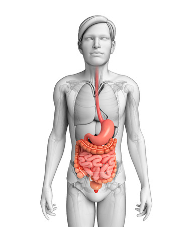 jejunum: Illustration of male small intestine anatomy Stock Photo