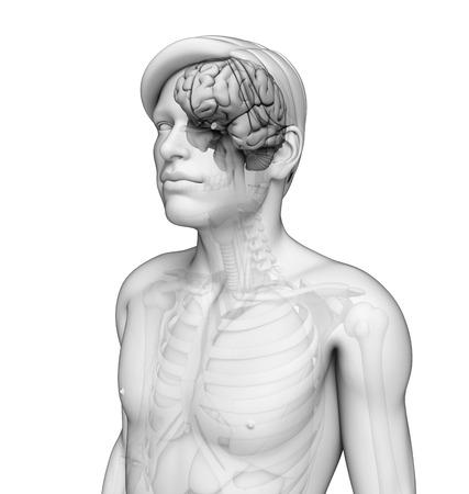 Illustration of human brain anatomy illustration