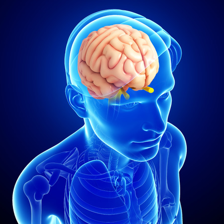 Illustration of human brain anatomy illustration