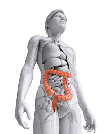 cecum: Illustration of Male large intestine anatomy Stock Photo