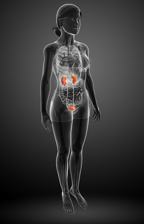 small artery: Illustration of Female urinary system