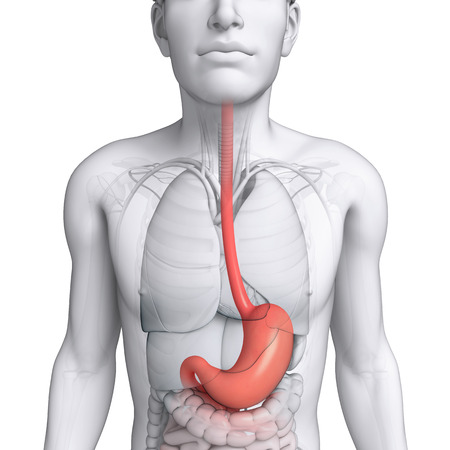 throat: Illustration of male stomach anatomy Stock Photo