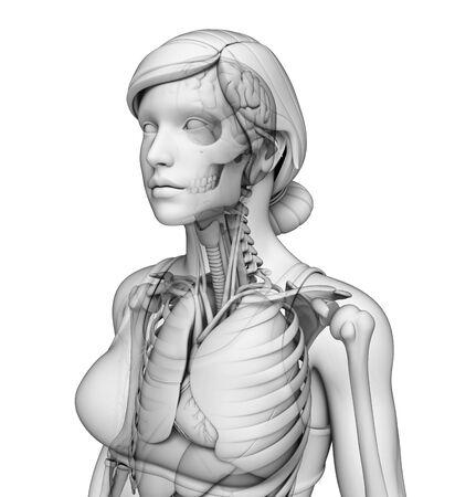 pleural fluid: Illustration of human body respiratory system