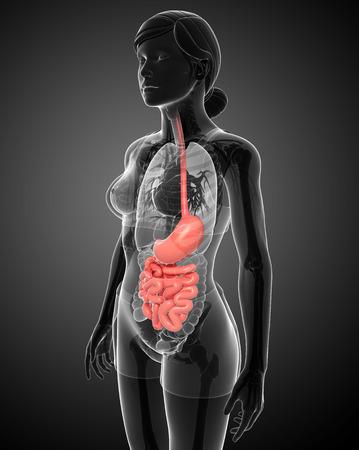 lleum: Illustration of female small intestine anatomy