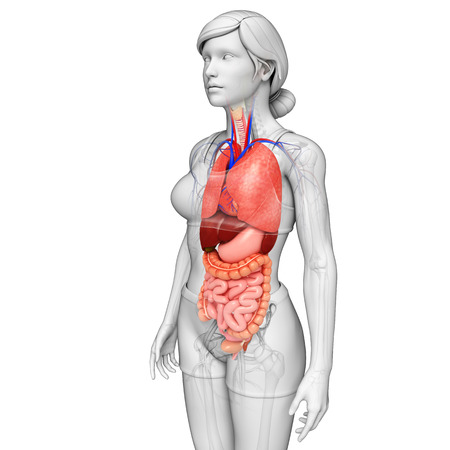 Illustration of female digestive system illustration