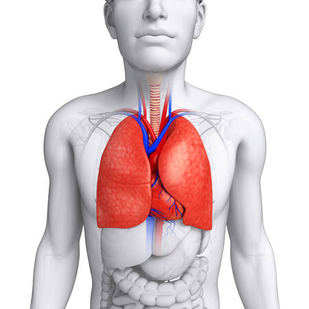 pleural fluid: Illustration of male lungs anatomy
