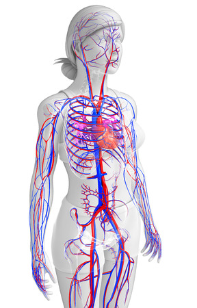 capillary: Illustration of female circulatory system