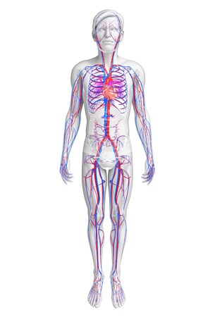 人間の心臓の解剖学のイラスト