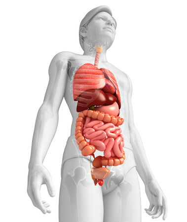 Illustration of male digestive system artwork illustration