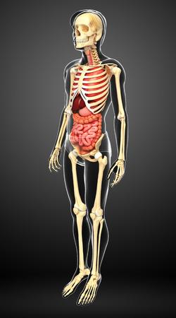 testis: Illustration of male skeleton digestive system