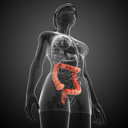Illustration of Female large intestine anatomy illustration