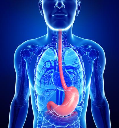 esofago: Ilustración de la anatomía del estómago masculina Foto de archivo