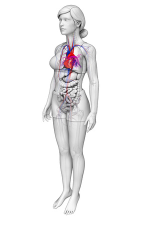 pulmonary trunk: Illustration of Female heart anatomy Stock Photo