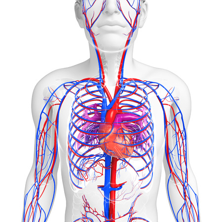 pulmonary trunk: Illustration of Male heart circulatory system