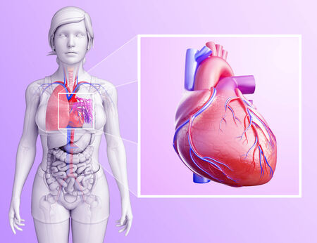 pleural fluid: Illustration of human lungs anatomy