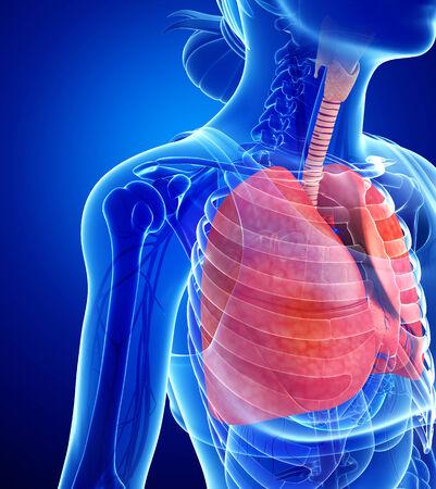 es�fago: Ilustraci�n de la anatom�a femenina pulmones