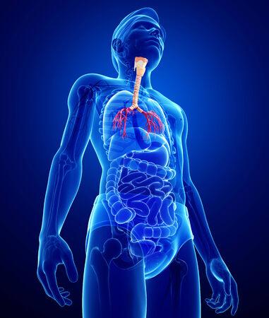asthmatic: Illustration of male throat anatomy Stock Photo