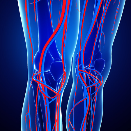 Illustration of Knee circulatory system
