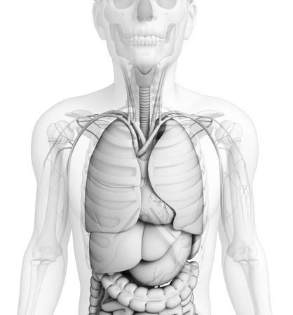 digestive: Illustration of human digestive system
