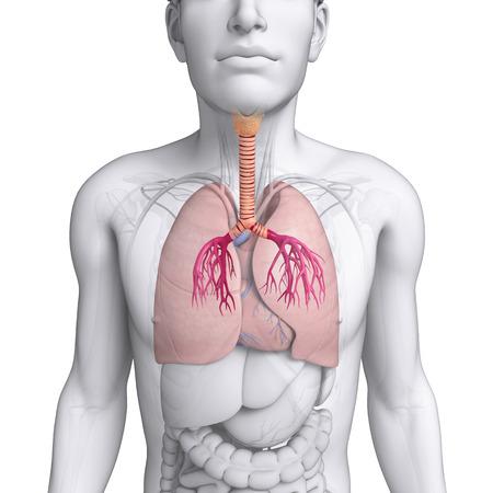 pleura: Illustration of male lungs anatomy