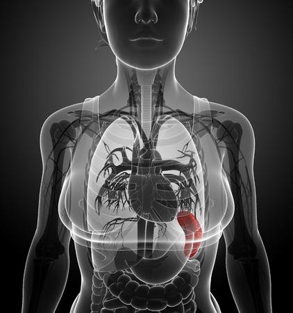 renal colic: Illustration of Female spleen anatomy