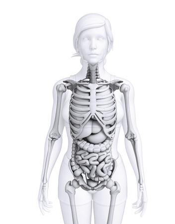 Illustration of female digestive system