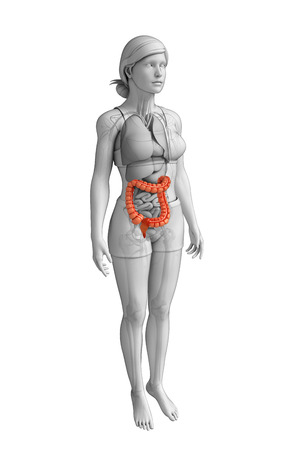 descending colon: Illustration of Female large intestine anatomy
