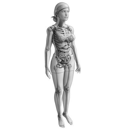 digestive: Illustration of female digestive system
