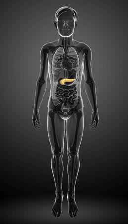 pancreas: Illustration of male pancreas anatomy