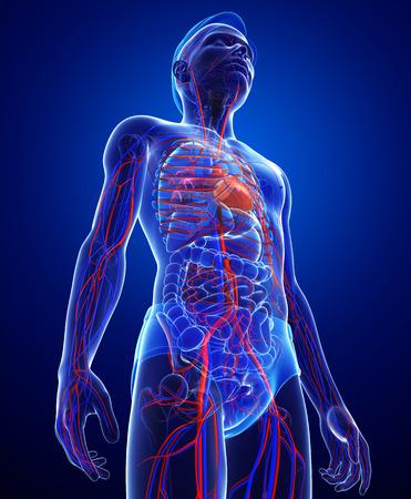 vasos sanguineos: Ilustración del sistema circulatorio Mujer