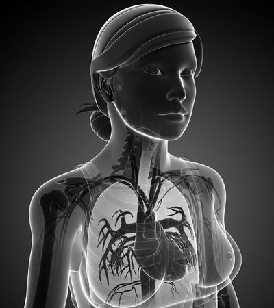 Illustration of female x-ray respiratory system artwork illustration