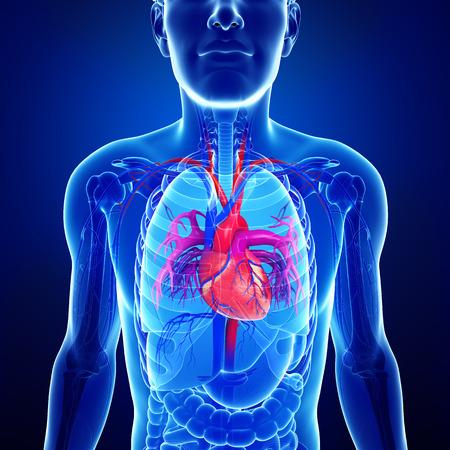 Illustration of Male heart anatomy illustration