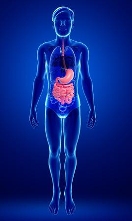 jejunum: Illustration of male small intestine anatomy Stock Photo