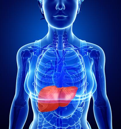 Illustration of Female liver anatomy Stock Photo