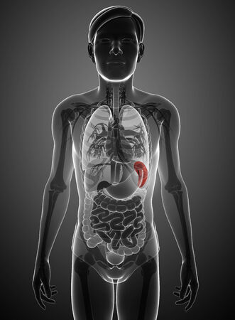Illustration of male spleen anatomy Stock Photo