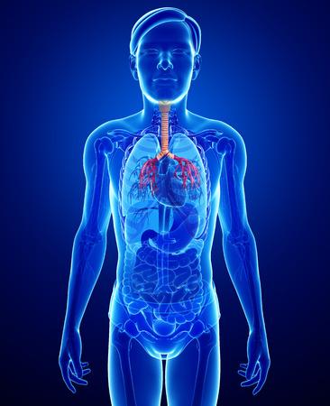 Illustration of male throat anatomy illustration