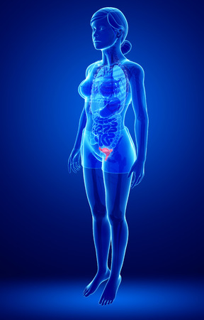 small artery: illustration of female uterus anatomy Stock Photo