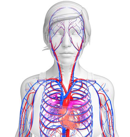 Illustration of Female heart circulatory