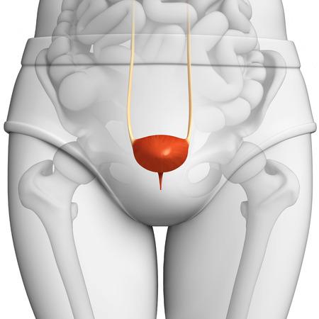 small artery: illustration of female bladder anatomy