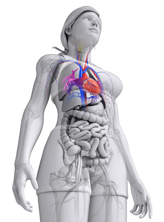 female large intestine: Illustration of Female heart anatomy Stock Photo