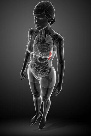 small vein: Illustration of Female spleen anatomy