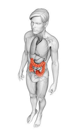 intestino grueso: Ilustraci�n de la Mujer Anatom�a del intestino delgado