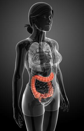 intestino grueso: Ilustraci�n de la anatom�a femenina grande delgado