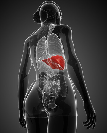 falciform: Illustration of Female liver anatomy Stock Photo