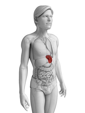 renal colic: Illustration of male spleen anatomy Stock Photo